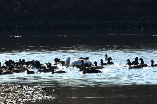 越辺川の小白鳥小と鴨たち