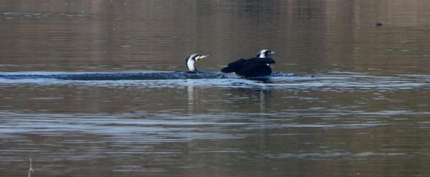 河鵜二羽の泳ぎ