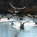 Photos: 小白鳥の群れの着水風景