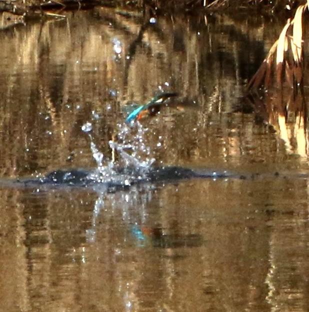 水面からの飛び立ち カウセミ