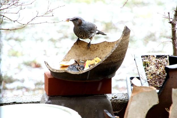 餌場のヒヨドリ