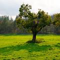 牧場の中の一本の木