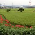 写真: 2017.9.21 ヒガンバナのある田んぼ風景