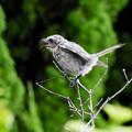 写真: モズの幼鳥