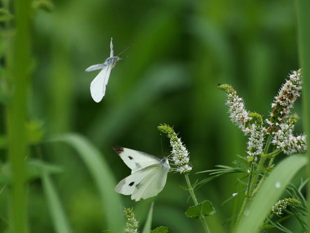 蝶のデート