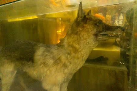 タイに居たオオカミ