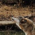 Photos: オオカミ