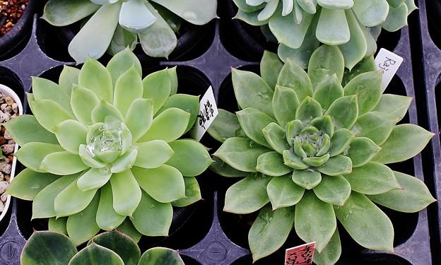 エケベリア・ラジョア(右)静夜×アガボ・ミランダ交配種(左)