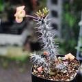 写真: 塊根性花キリン実生