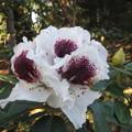 シャクナゲ・「サッフォー」の花
