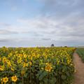 写真: 夕暮れのひまわり畑