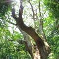 立花山の大楠