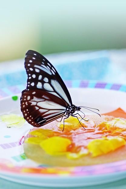 昆虫館は常夏・アサギマダラ。