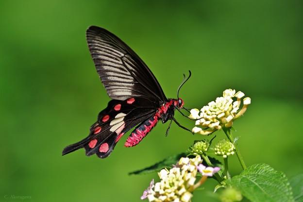 昆虫館は常夏・ベニモンアゲハ。