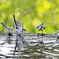 写真: 水盤の鳥たち -エナガ群団-