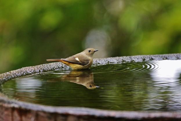水盤の鳥たち -ジョウビタキ♀-