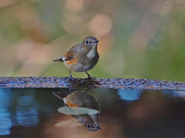 水盤の鳥たち -ルリビタキ・♀タイプ-