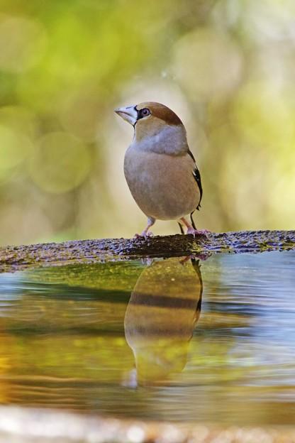 水盤の鳥たち -シメ-