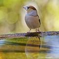 Photos: 水盤の鳥たち -シメ-