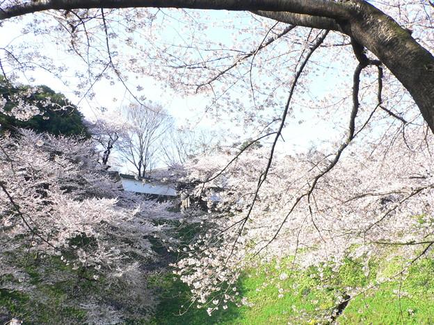 100408 日本武道館の桜4