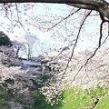Photos: 100408 日本武道館の桜4