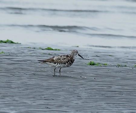 野鳥(1165)−オバシギ&ウミネコ幼鳥,  残ったのは・・