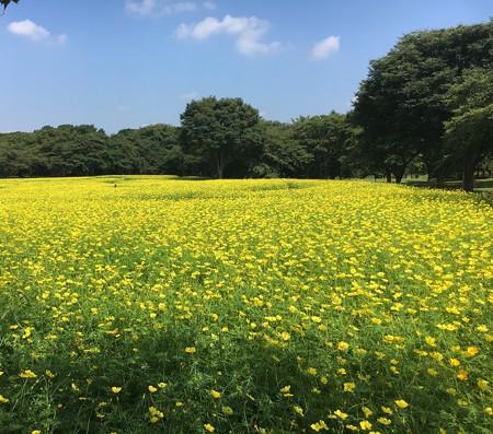 花(57)−キバナコスモス、 花畑一杯に