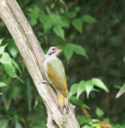 野鳥(1171)-アオゲラ、水浴びに