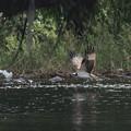 写真: ミサゴ採餌(4)