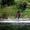 写真: ミサゴ採餌(2)