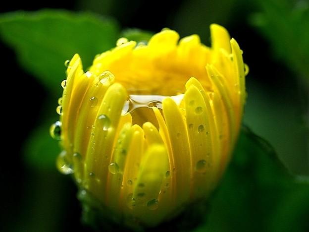写真: 菊花のイエロウカップ