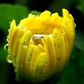 菊花のイエロウカップ