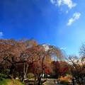 写真: 四季桜1