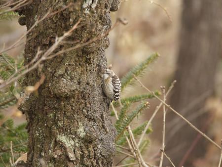 樹皮裏の虫を捕る