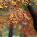 紅葉に枯れ松落葉3