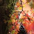 古木の紅葉
