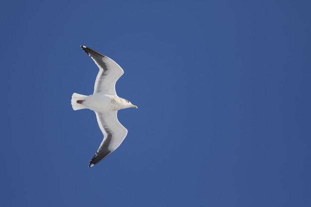 宗谷湾の海鳥