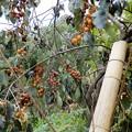 写真: 葡萄柿 (2)