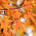 写真: 紅葉 (3)