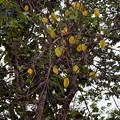 スターフルーツの木