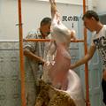 Photos: 羊は吊るされ、処理される