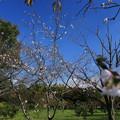 写真: なんと桜が!