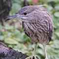 写真: ホシゴイ(ゴイサギの若鳥)