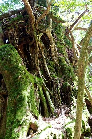 白谷雲水峡の木その3