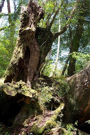白谷雲水峡の木その10