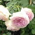 写真: 鈴木君のバラ
