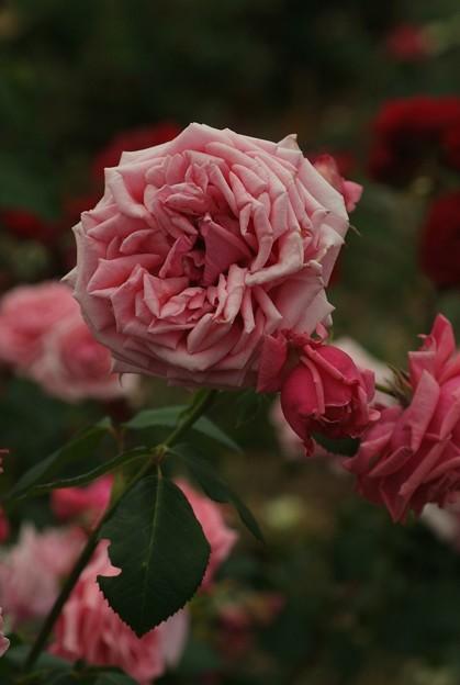 キュリーピンク 'Curly Pink' Brownell Family (米 1948) HT Pink Princess × Crimson Glory