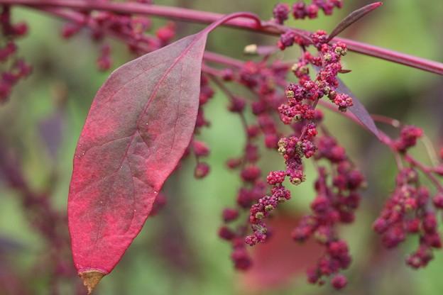 アカザの葉と実2