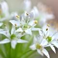 写真: ニラの花束