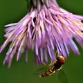 写真: キセルアザミに花アブ